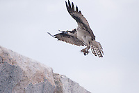 Osprey (Pandion haliaetus) on Monument, Castine, Maine, US