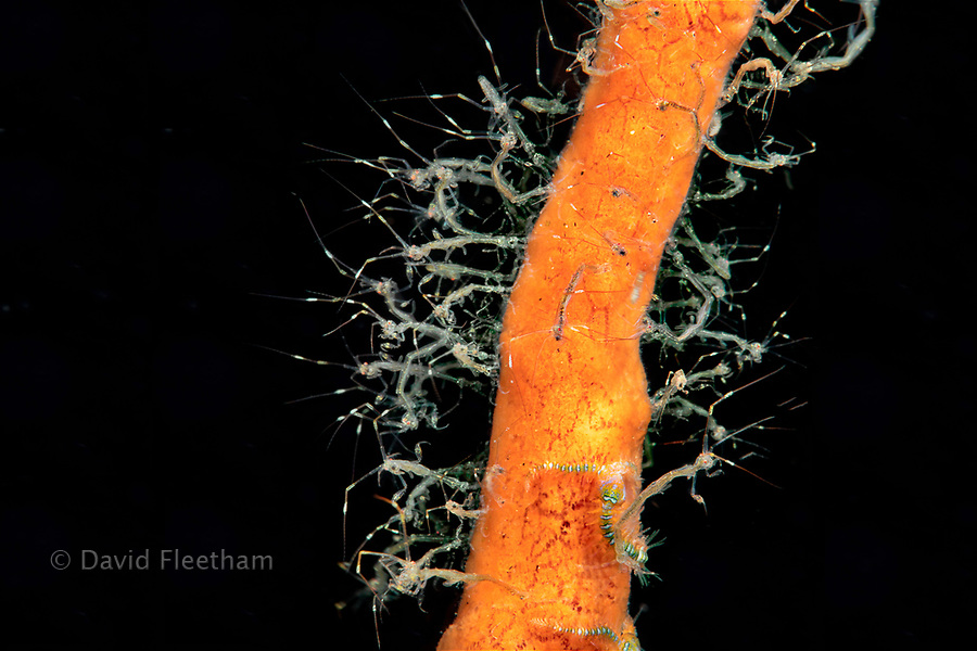 This is a close-up of skeleton shrimp, Caprellide sp., on a sponge at night off Dumaguete, Philippines, Asia.