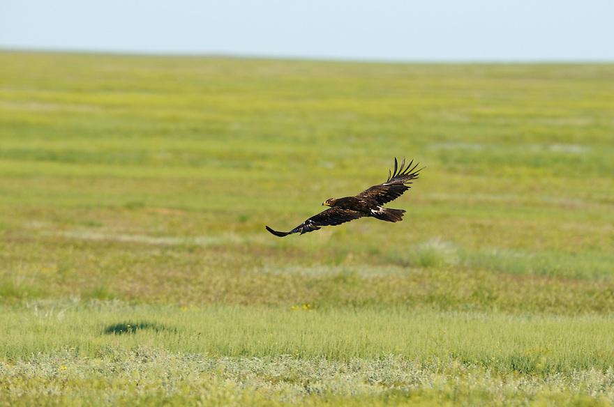Mission:  Saiga.Steppe eagle (Aquila nipalensis), Cherniye Zemly (Black Earth) Nature Reserve, Kalmykia, Russia, May 2009.Aquila rapax