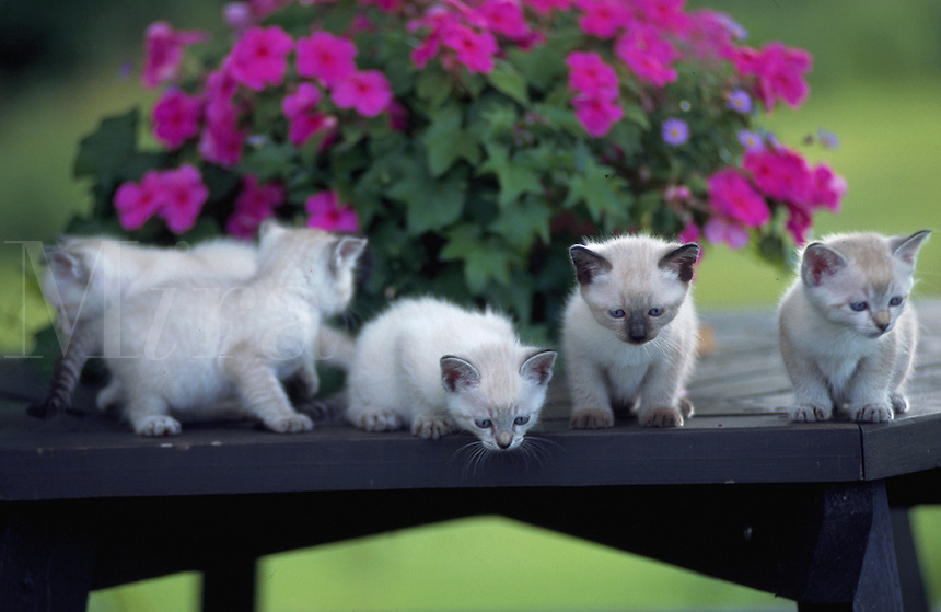 Himalayan tabby kittens playing and sitting on a wooden bench outside.