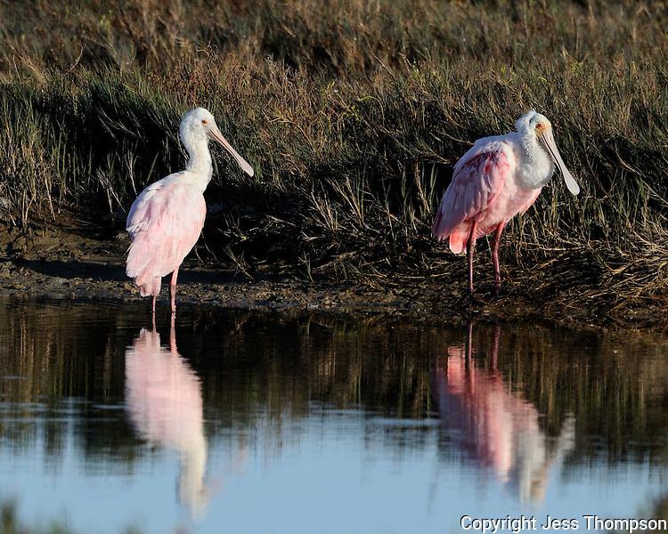 Roseate Spoonbills, Goose Island State Park, Texas
