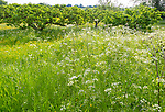 Cow parsley, Anthriscus sylvestris, in foreground of orchard with apple trees in summer, Wiltshire, England, UK