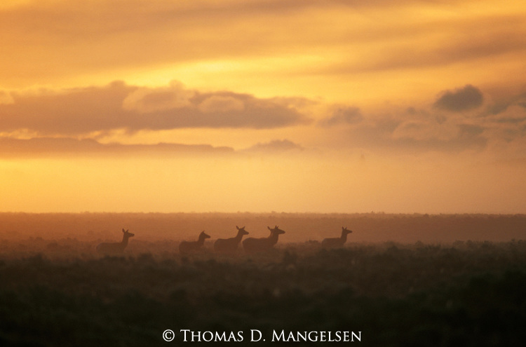 A small herd of female elk walk across the sage flats at sunrise in Grand Teton National Park, Wyoming.