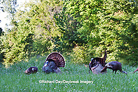 00845-07301 Eastern Wild Turkeys (Meleagris gallopavo)  in field, Holmes Co., MS