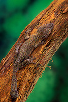 Henkel's Leaf-tailed Gecko blends into tree color to disguise itself. Camouflage. Native to Madagascar..(Uroplatus henkeli)