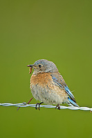 Western Bluebird at Conboy Lake National Wildlife National Wildlife Refuge, Washington