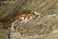 0304-0917  American Toad, © David Kuhn/Dwight Kuhn Photography, Anaxyrus americanus, formerly Bufo americanus