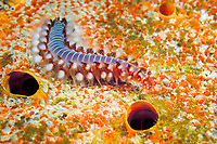 bearded fireworm, Hermodice carunculata, Bonaire