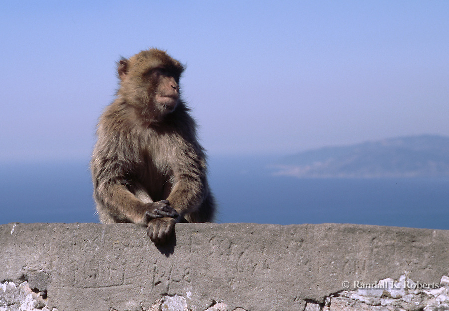 Barbary Macaque monkey, Gibraltar, UK. These tailless monkeys are the only free-living monkeys in Europe.