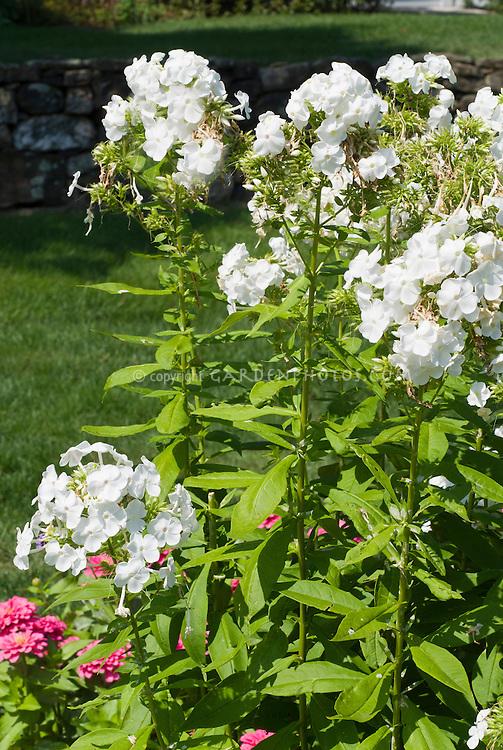 Phlox paniculata 'David' in fragrant white flowers