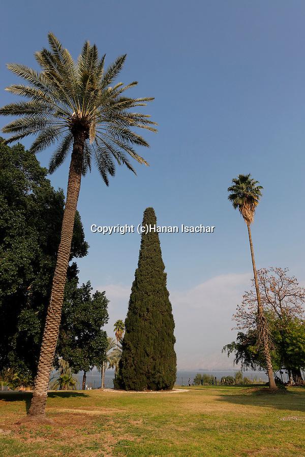 Cypress tree (cupresus sempervirens) in Kibbutz Degania Aleph by the Sea of Galilee, Israel<br />