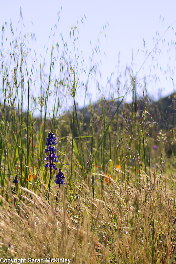 A few lupine grow amongst the grasses along Highway 128 between Geyserville and Calistoga in Napa County in Northern California.