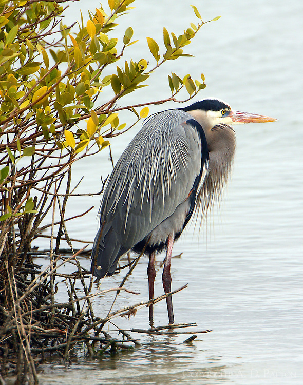 Great blue heron beside black mangrove