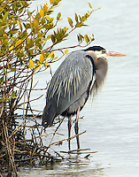 Great blue heron beside black mangrove