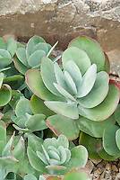 Succulent plant Kalanchoe thyrsiflora (Paddie Plant, Flapjacks, Desert Cabbage)