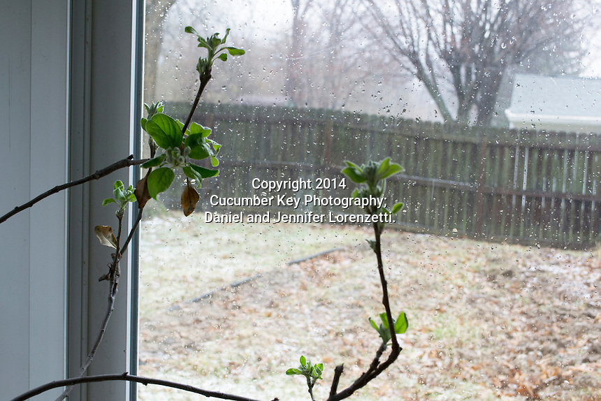 A dwarf Granny Smith apple tree in bloom in early spring in the sunroom, looking out on the main backyard garden.