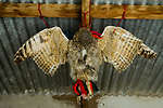 Great Horned Owl (Bubo virginianus) stuffed animal hanging in house, considered to bring good luck, Abra Granada, Andes, northwestern Argentina