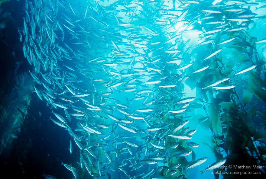 Catalina Island, Channel Islands, California; Jack Mackerel (Trachurus symmetricus) and Giant Kelp (Macrocystis pyrifera) , Copyright © Matthew Meier, matthewmeierphoto.com All Rights Reserved