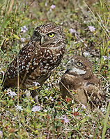 Burrowing owl with chick