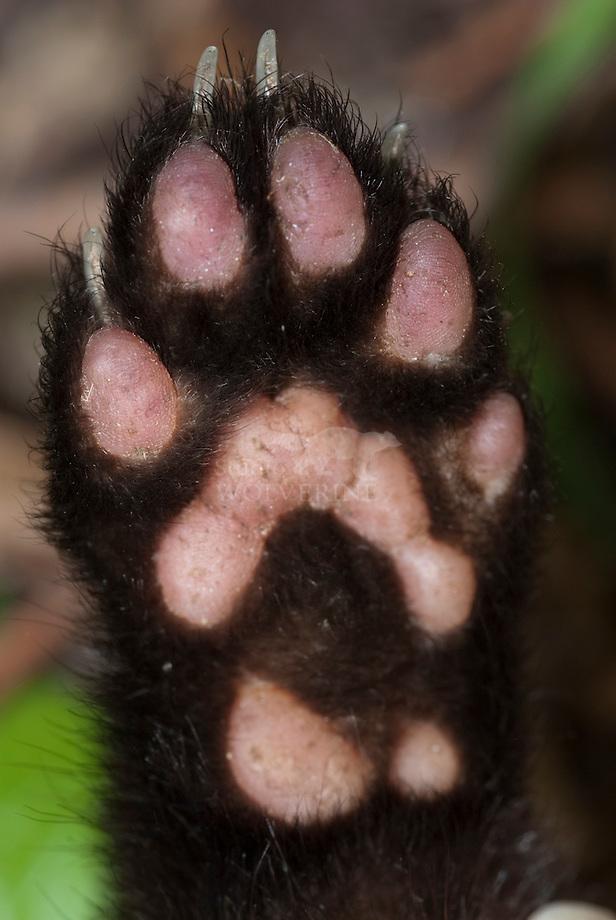 Steenmarter (Martes foina), voet van de voorpoot