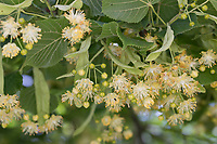 Linde, Lindenblüte, Lindenblüten, Holländische Linde, Hybridlinde, Hybrid-Linde, Tilia x europaea, Tilia x vulgaris, Tilia cordata x Tilia platyphyllos, Lime, Common Lime, linden, common linden, Le tilleul commun