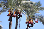 Palestinian farmers harvest dates from a palm tree in the central Gaza Strip on October 12, 2017. Photo by Atia Darwish