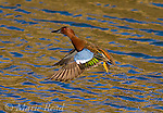 Cinnamon Teal (Anas cyanoptera) male taking flight, Bolsa Chica Ecological Reserve, California, USA