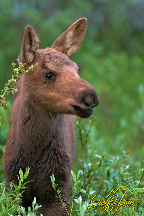 Moose Calf Portrait, Yellowstone National Park