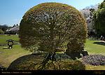 Topiary Maple Korakuen Okayama Japan