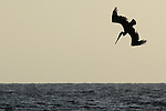 A California brown pelican dives to the water while feeding in Venice Beach