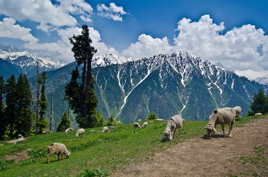 Sheep at pasture. Western Himalayan Mountains, Kashmir, India..