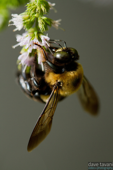 A bumble bee pollinates flowers on a mint plant.