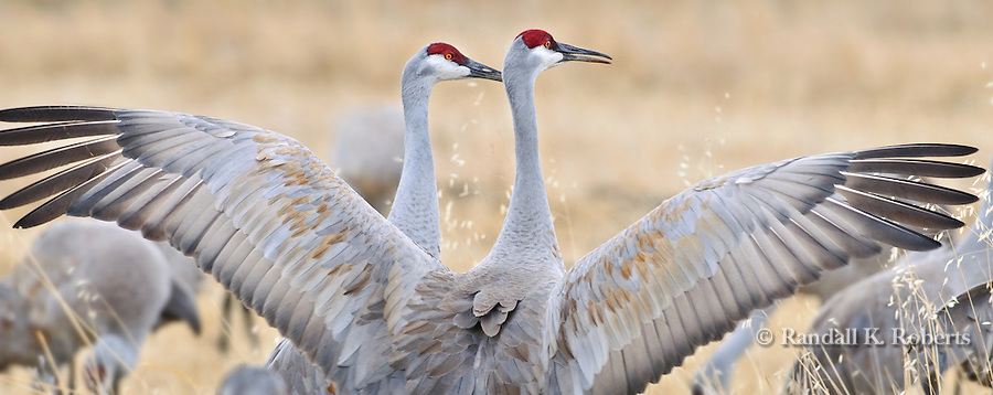 A sandhill crane (Grus canadensis) shows off for its mate during the spring migration through Monte Vista National Wildlife Refuge, Colorado.