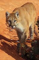 COUGAR/MOUNTAIN LION/PUMA..Near Canyonlands National Park, Utah. Autumn. (Felis concolor).