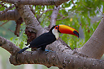 Toucan sitting on a branch of a tree in Brazil showing off his marvelous colors and amazing beak.