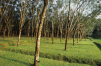 INDIA Karnataka, rubber tree plantation, from the milky Latex juice products like tyre condoms and other rubber parts are produced / INDIEN Karnataka, Kautschuk Baeume auf einer Plantage , aus dem Latex Saft der Kautschukbaeume werden Produkte wie Kondome Einweghandschuhe Gummiteile Latex Matratzen Reifen hergestellt