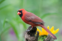 Male Cardinal perched on a fence; Illinois
