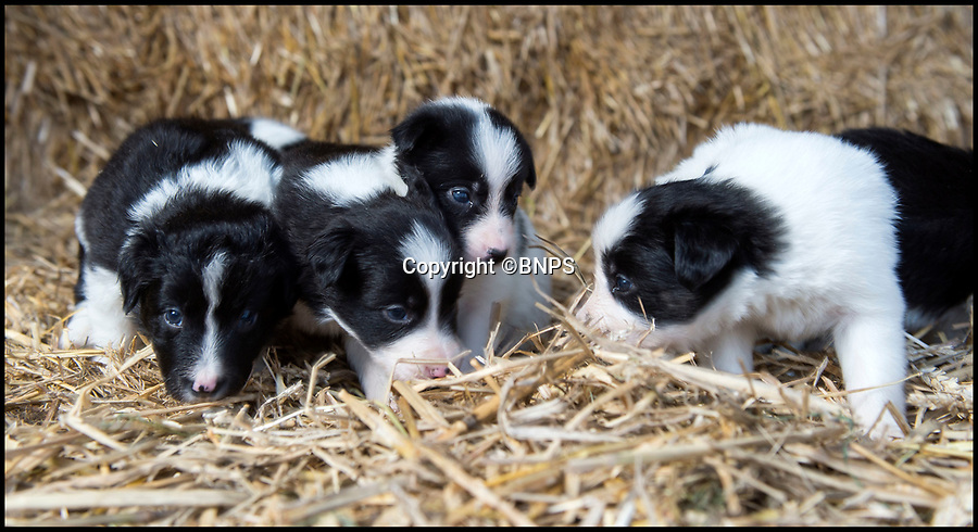 BNPS.co.uk (01202 558833)<br /> Pic: PhilYeomans/BNPS.<br /> <br /> Squashed border collie Winnie gives birth to six Xmas miracles.<br /> <br /> Over keen sheepdog Winnie was run over by a 15 ton tractor whilst working with her owner Josh Sibley(22).<br /> <br /> But Josh is now celebrating his own Christmas miracle as he will be spending it with her six puppies - who all survived the accident.<br /> <br /> Winnie the border collie was pregnant at the end of October when she chased a rabbit under a huge forage harvester and got caught under the 4ft-wide rear wheel.<br /> <br /> Josh thought Winnie was dead but despite puncturing both lungs and fracturing her pelvis the three-year-old defied the odds and now has six mischievous pups to look after.