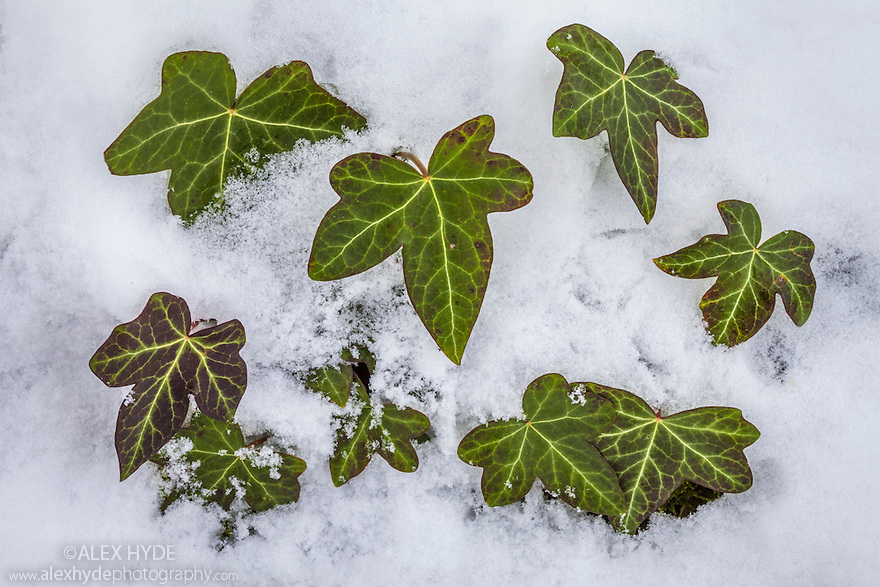 Ivy clump protruding through snow {Hedera helix}. Peak District National Park, Derbyshire, UK, January.
