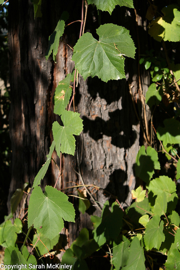 A grape vine casts shadows on a cedar tree trunk outside of Willits in Mendocino County in Northern California.