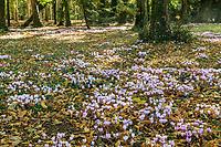 France, Indre-et-Loire (37), Chenonceaux, château et jardins de Chenonceau, sous-bois et floraison des cyclamen de Naple (Cyclamen hederifolium)