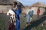 ATEKAL, TANZANIA - NOVEMBER 16: A young Maasai woman carries a newborn calf outside their traditional house on November 16, 2009 in their village in Atekal, Tanzania. The village has lost about 300 cattle in recent months. This area has been severely affected by drought the last two years and as many as 3-4000 cattle has died in recent months. The Maasai tribe populates the area and many of them has given up on farming and traveled to cities such as Arusha to look for work. Indigenous peoples globally, such as the Maasai in Tanzania and Kenya, are disproportionately affected by the impacts of climate change due to fragile and harsh ecosystems. (Photo by Per-Anders Pettersson)....