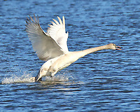 Adult trumpeter swan taking off. These big birds have to run on the water to reach takeoff speed.