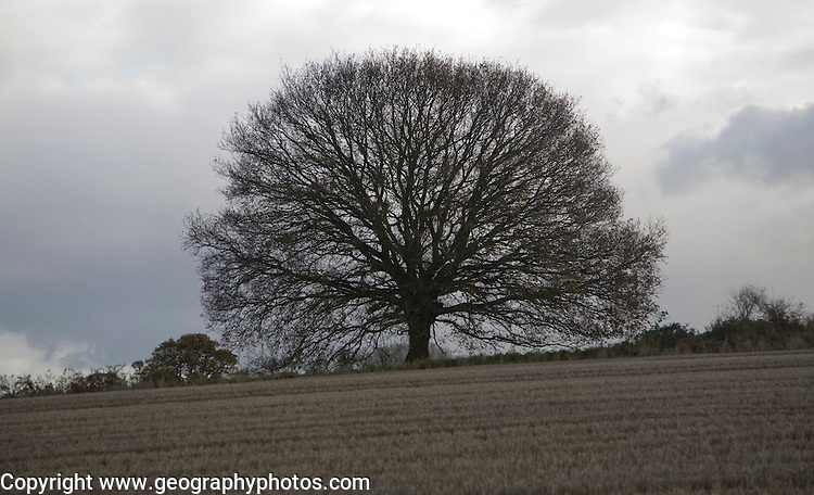 Rounded Quercus Robur oak tree outline on dark overcast winter day, Sutton, Suffolk, England