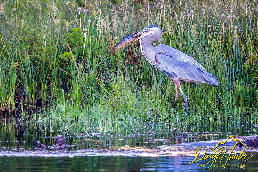 A Blue Heron with its Brown Trout harvest from the Firehole River in Yellowstone National Park.