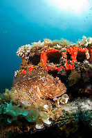 Scorpionfish (Scorpaena porcus) lying on the artificial reef, Larvotto Marine Reserve, Monaco, Mediterranean Sea<br /> Mission: Larvotto marine Reserve
