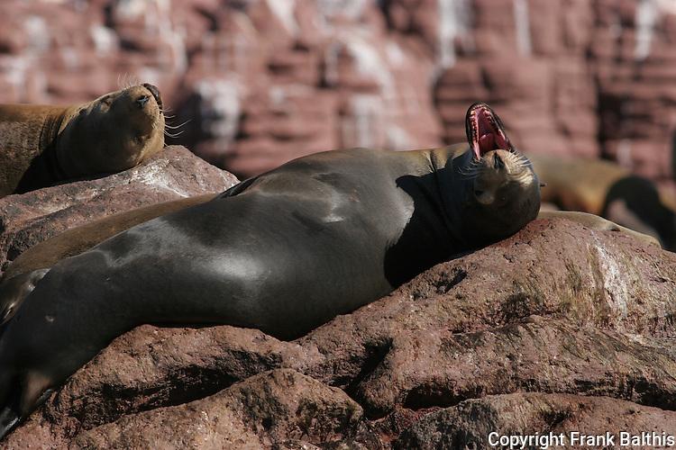 CA sea lion yawning
