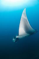 giant oceanic manta ray, Manta birostris, Catalina Island, Playa del Coco, Northwest Costa Rica Coast, Republic of Costa Rica, Guanacaste, Pacific Ocean