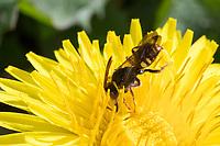 Wespenbiene, Kuckucksbiene, Wespen-Biene, Kuckucks-Biene, Nomada spec., cuckoo bee, cuckoo-bee, Wespenbienen, Kuckucksbienen, cuckoo bees, cuckoo-bees, Blütenbesuch an Löwenzahn, Taraxacum officinale