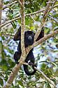 Male Black Howler Monkey (Alouatta caraya)(family Atelidae) resting in riverine forest canopy. Tributary of Cuiaba River, Mato Grosso, Pantanal, Brazil. September.